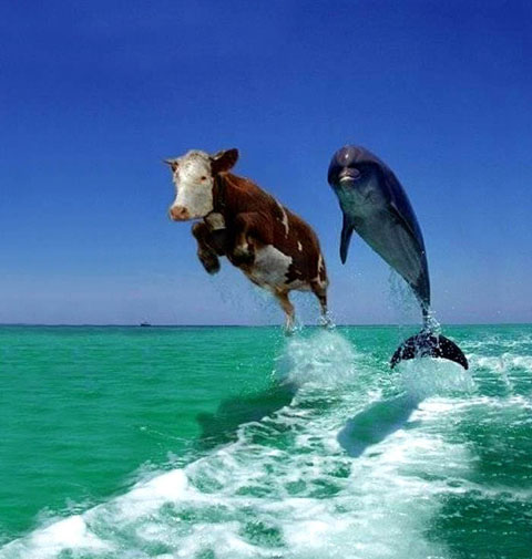Cow swimming with dolphin