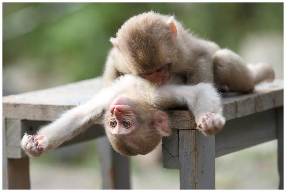 Monkeys Making Love