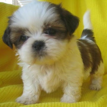 Shih Tzu Puppy One Of The Cutest Breed Joker Yogi